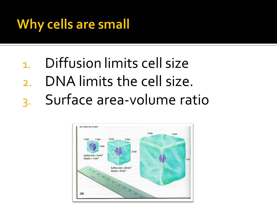 Surface area to volume ratio effect on diffusion