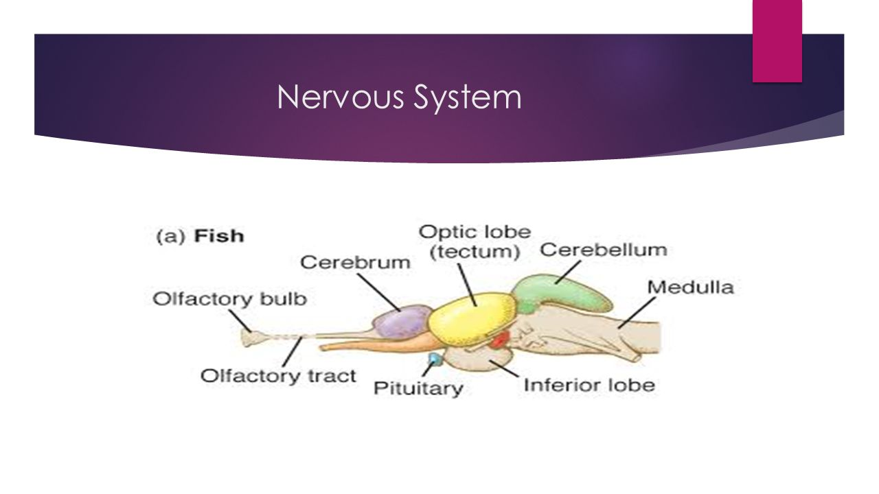 nervous system in fish