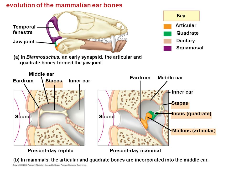 The Pictures For Mammals 3 Middle Ear Bones