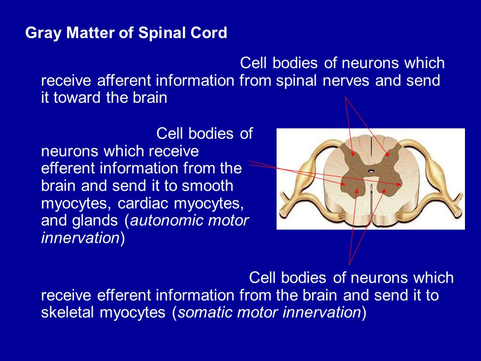 Gray Matter of Spinal Cord