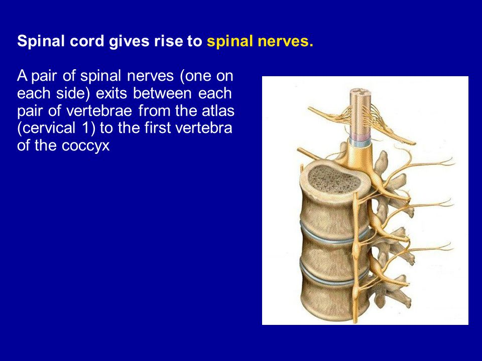 Spinal cord gives rise to spinal nerves.