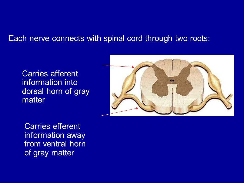 Each nerve connects with spinal cord through two roots: