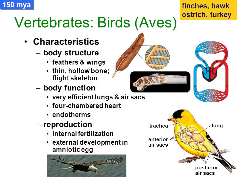 Evolution of Vertebrates - ppt video online download