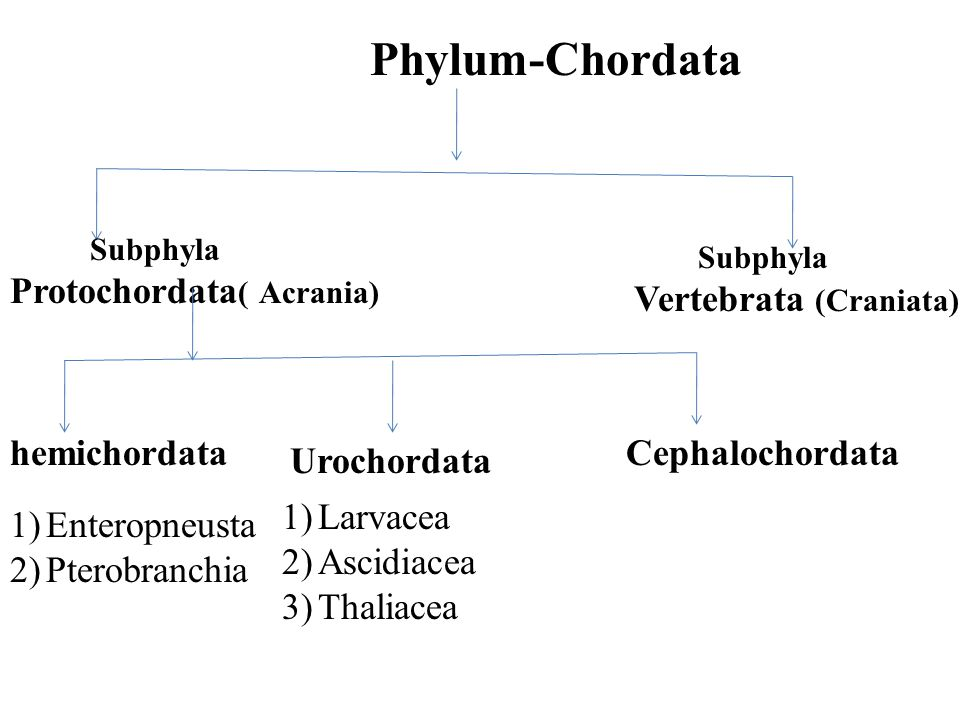 What Are Protochordata Ppt Video Online Download