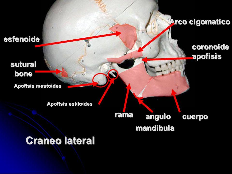 Craneo lateral Arco cigomatico esfenoide coronoideapofisis