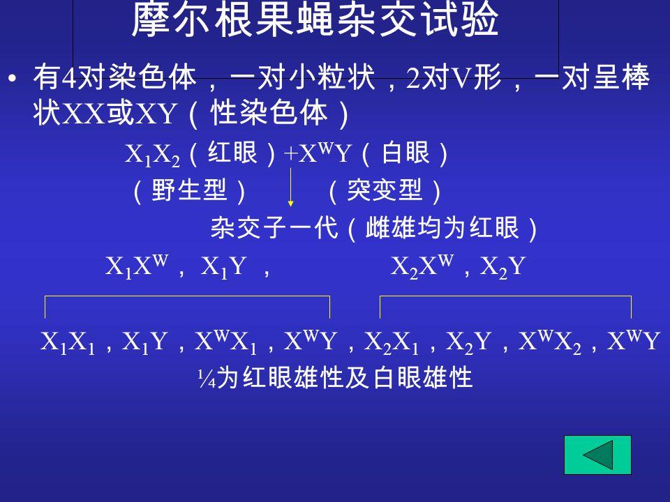 摩尔根果蝇杂交试验 有4对染色体,一对小粒状,2对V形,一对呈棒状XX或XY(性染色体) X1X2(红眼)+XWY(白眼)