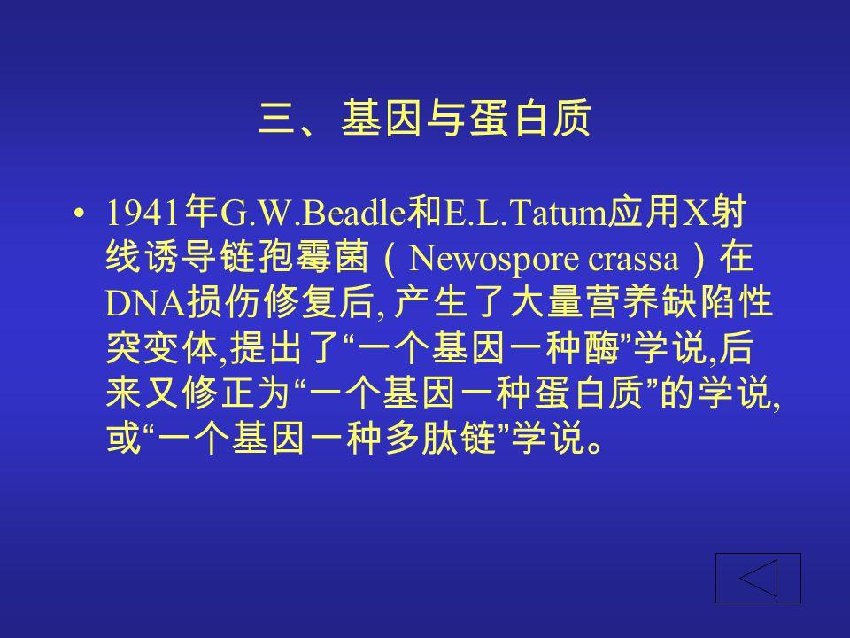 三、基因与蛋白质 1941年G.W.Beadle和E.L.Tatum应用X射线诱导链孢霉菌(Newospore crassa)在DNA损伤修复后, 产生了大量营养缺陷性突变体,提出了 一个基因一种酶 学说,后来又修正为 一个基因一种蛋白质 的学说, 或 一个基因一种多肽链 学说。