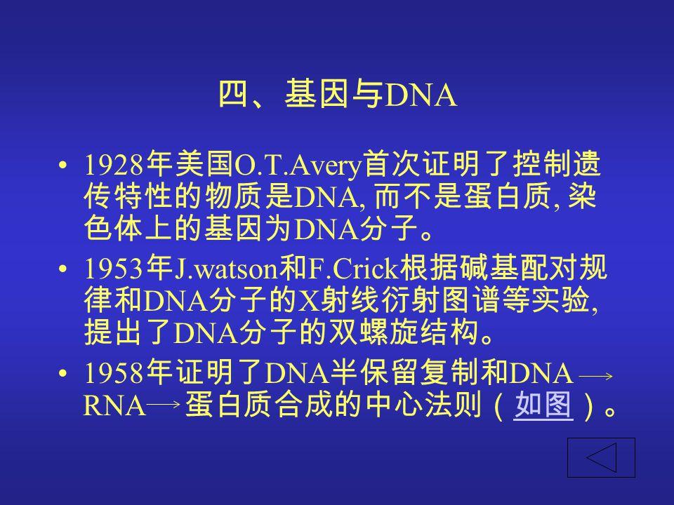 四、基因与DNA 1928年美国O.T.Avery首次证明了控制遗传特性的物质是DNA, 而不是蛋白质, 染色体上的基因为DNA分子。