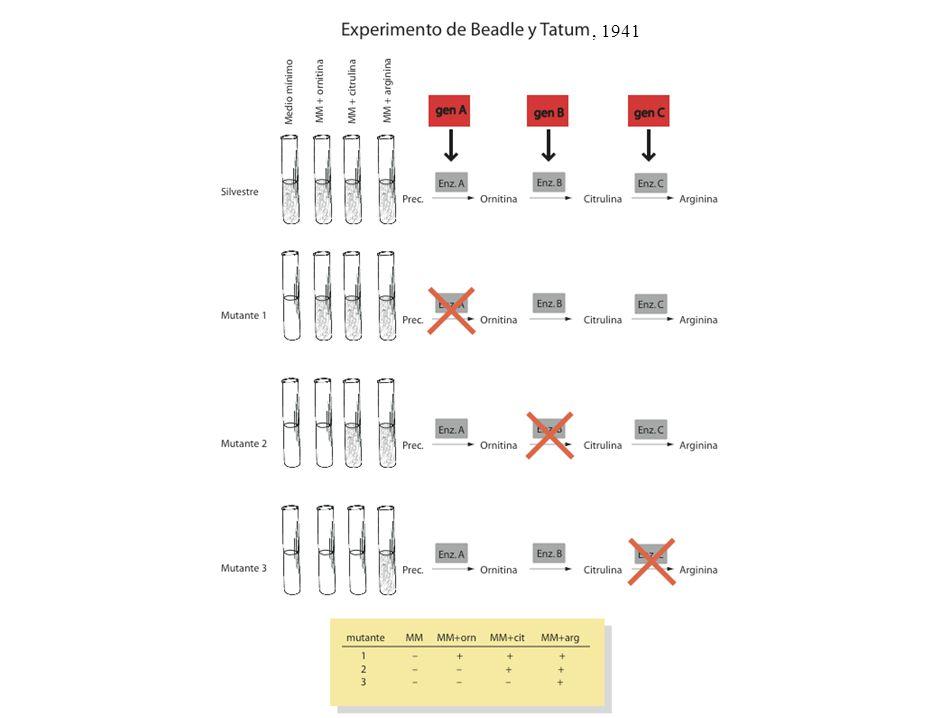 , 1941 tema 7 tema 7 (24 diapositivas)tema 7 13