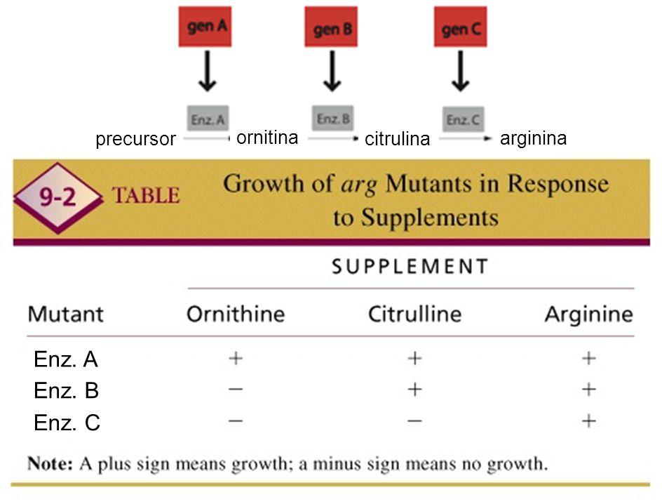 Enz. A Enz. B Enz. C ornitina citrulina arginina precursor tema 7