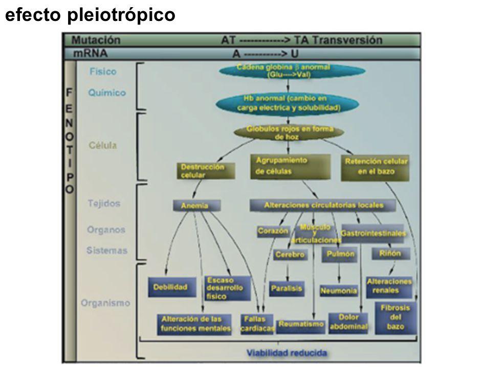 efecto pleiotrópico tema 7 tema 7 (24 diapositivas)tema 7 17