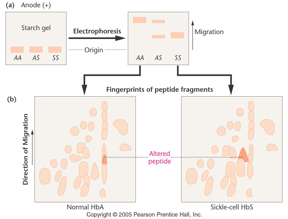 Figure: 14-14a Investigation of Hemoglobin.