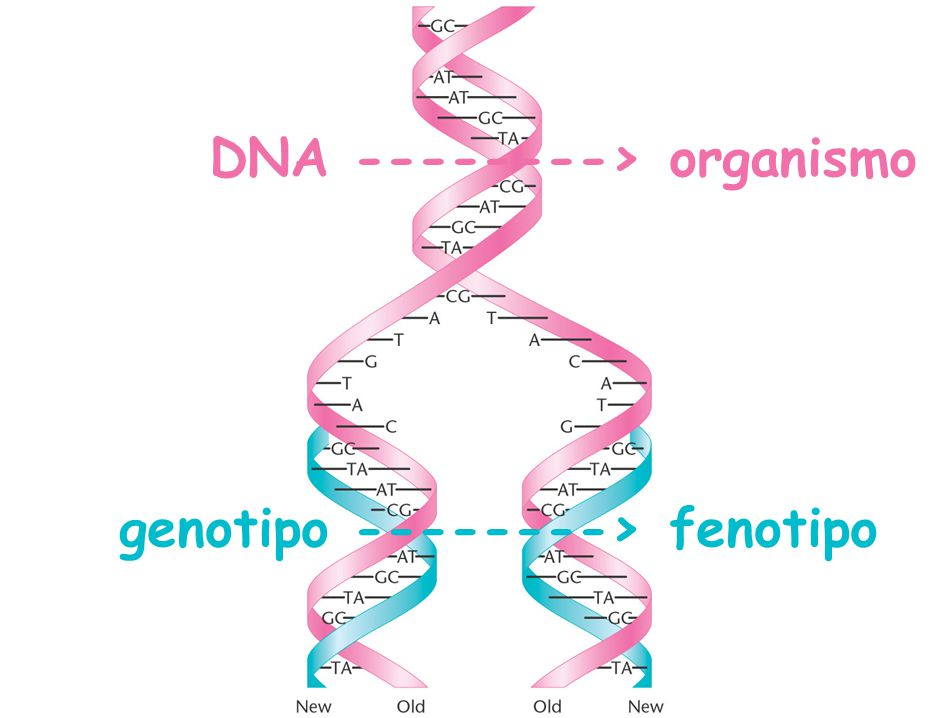 DNA --------> organismo genotipo --------> fenotipo