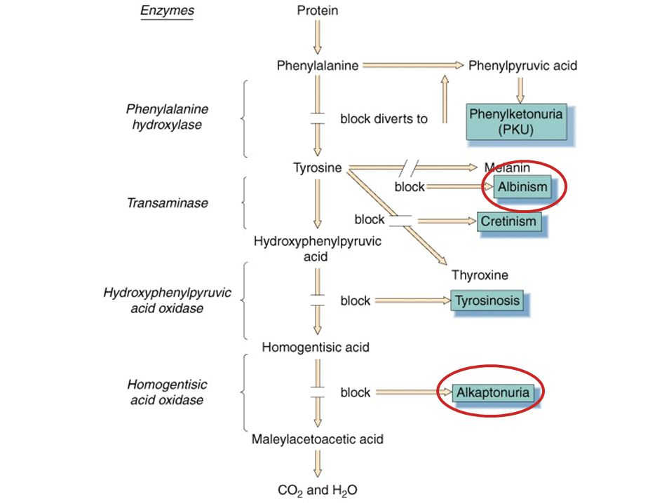 Metabolic Pathway Involving Phenylalanine and Tyrosine