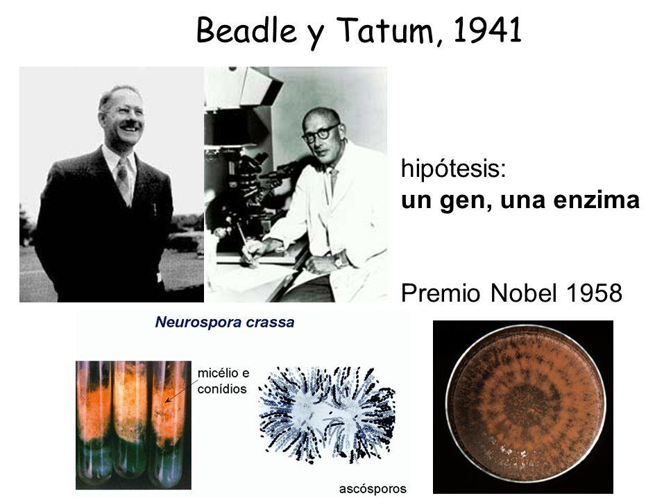 Beadle y Tatum, 1941 hipótesis: un gen, una enzima Premio Nobel 1958