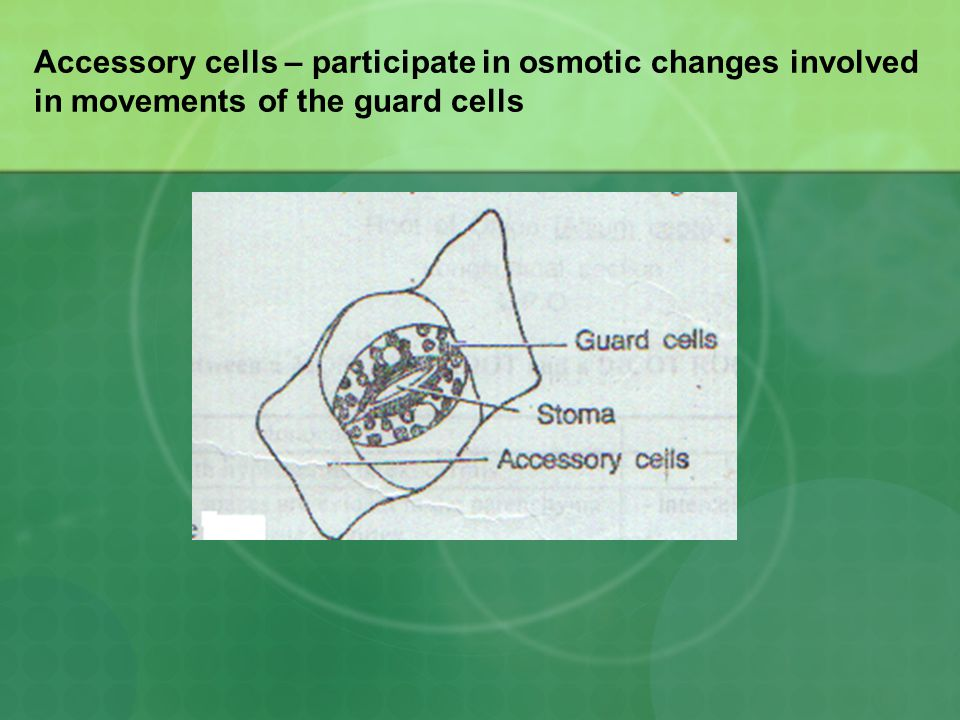 Accessory cells – participate in osmotic changes involved in movements of the guard cells