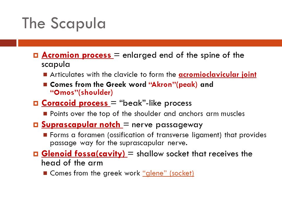 The Scapula Acromion process = enlarged end of the spine of the scapula. Articulates with the clavicle to form the acromioclavicular joint.