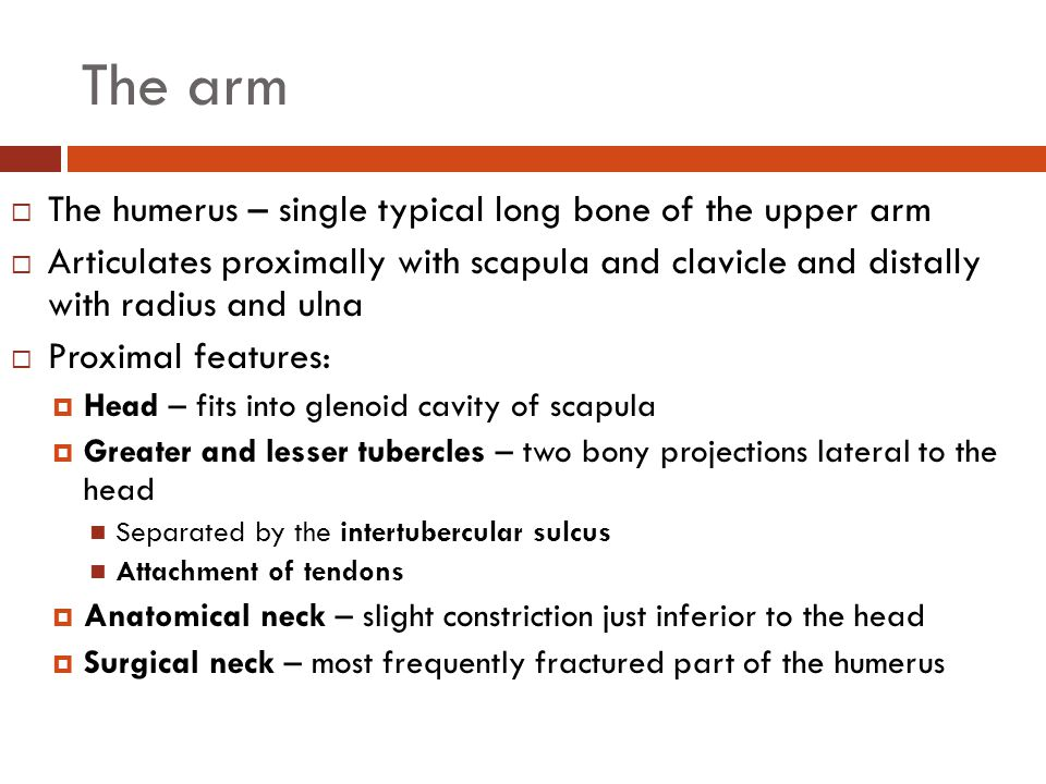 The arm The humerus – single typical long bone of the upper arm