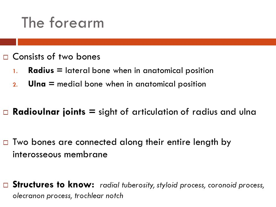 The forearm Consists of two bones