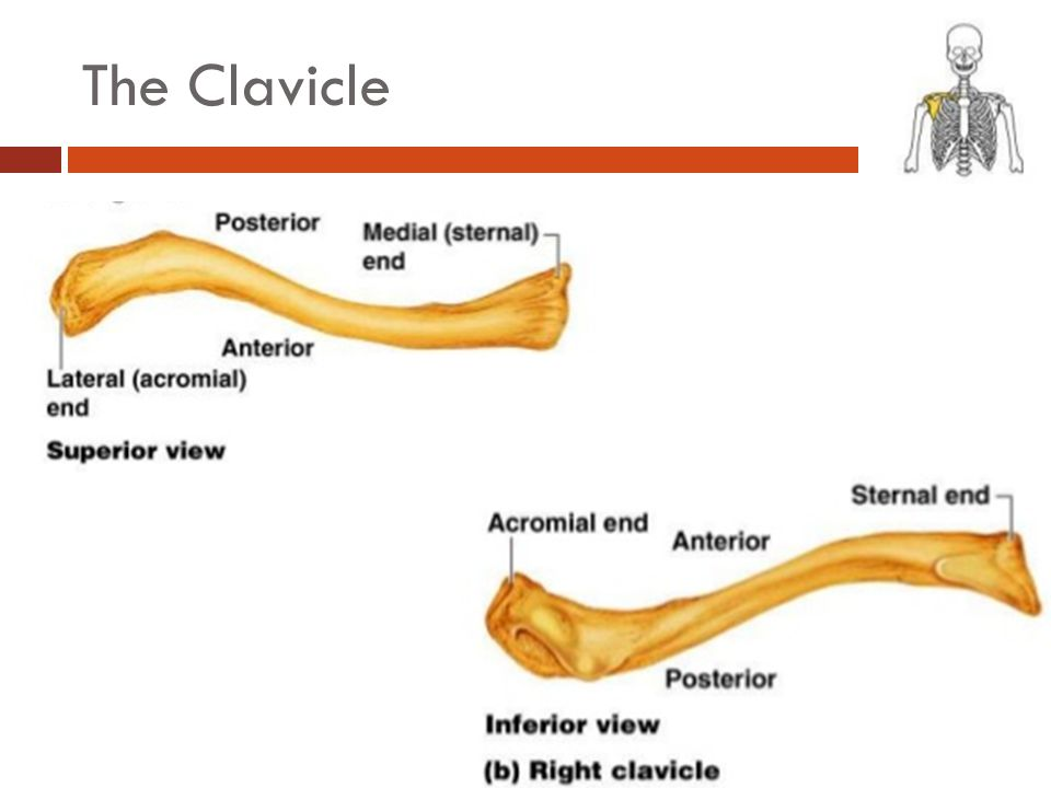 The Clavicle