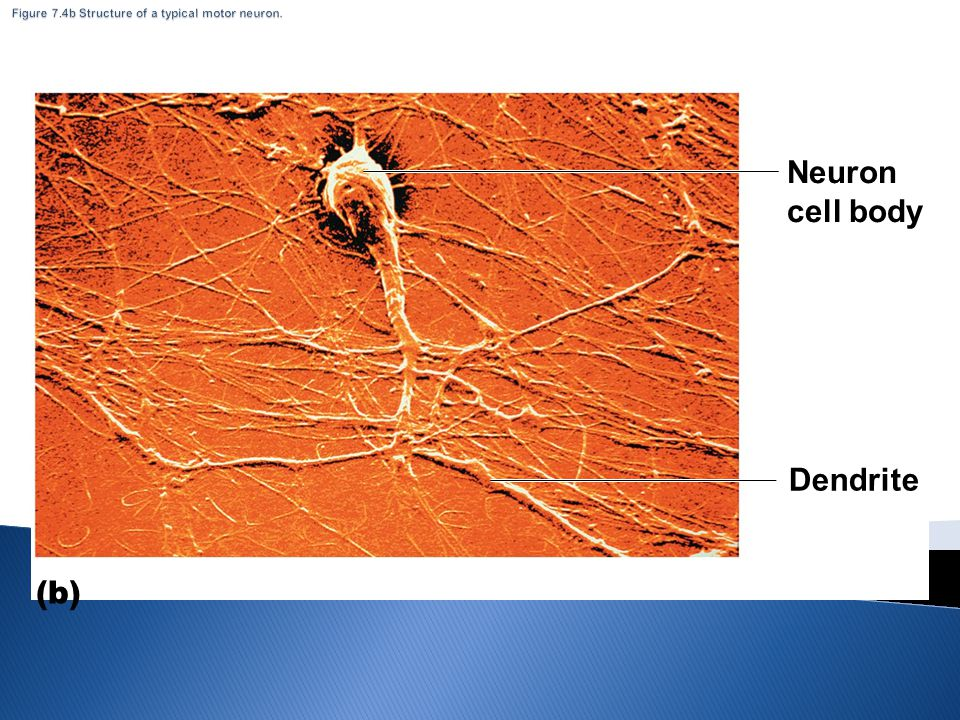 Figure 7.4b Structure of a typical motor neuron.