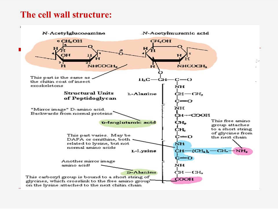 The cell wall structure: