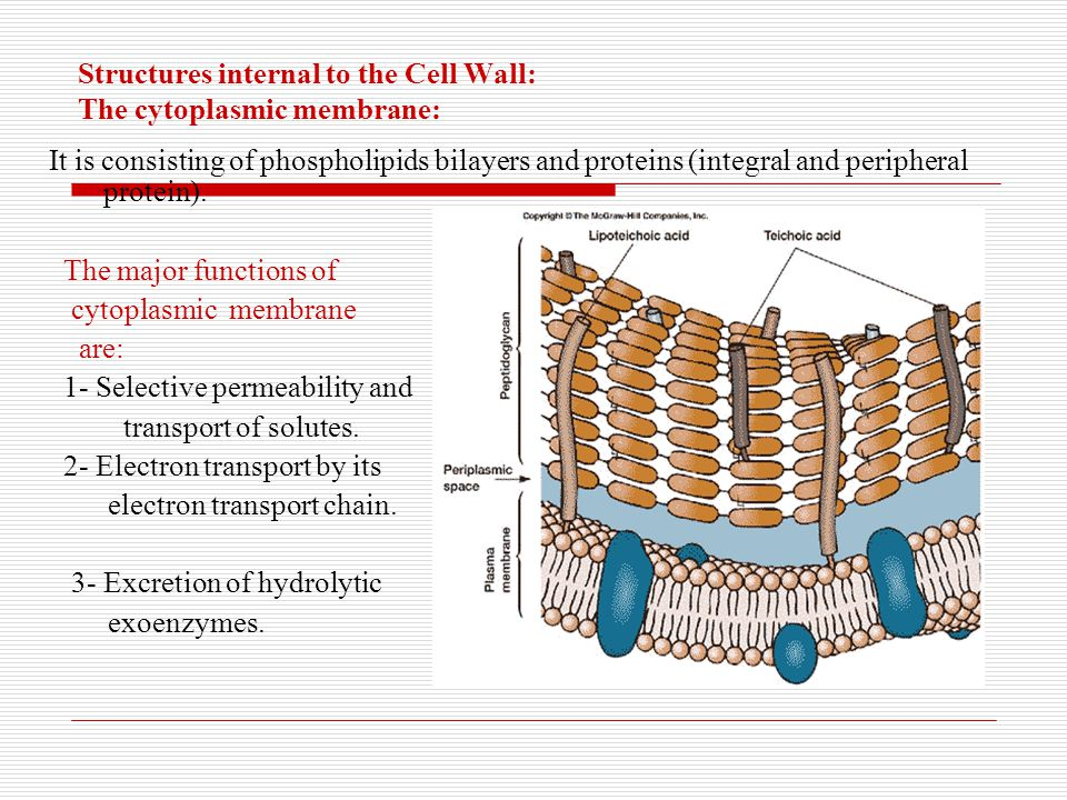 Structures internal to the Cell Wall: The cytoplasmic membrane: