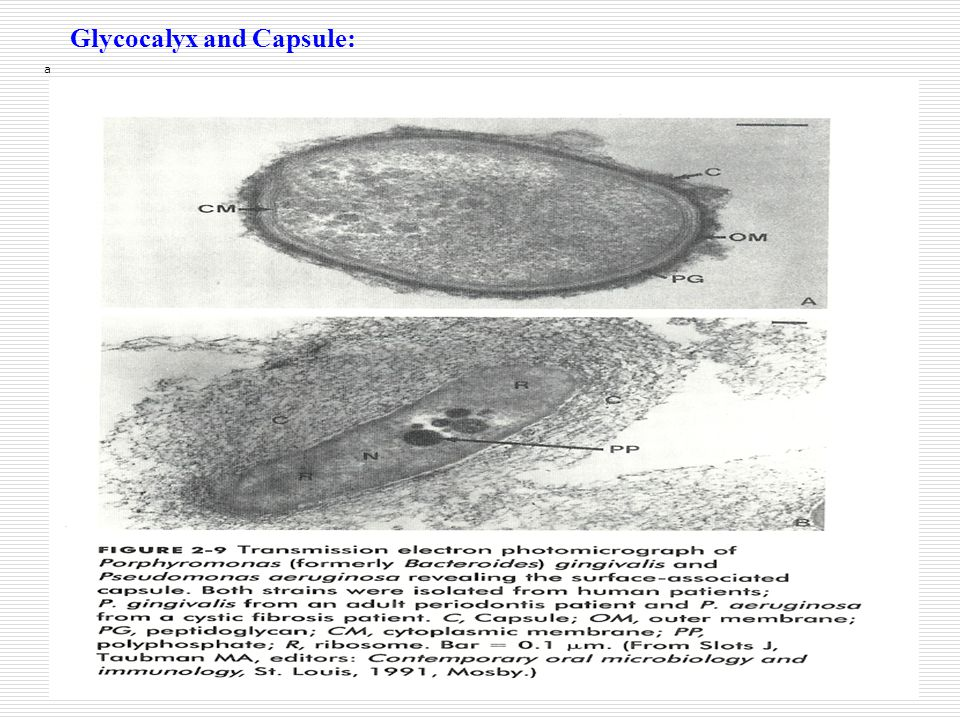 Glycocalyx and Capsule: