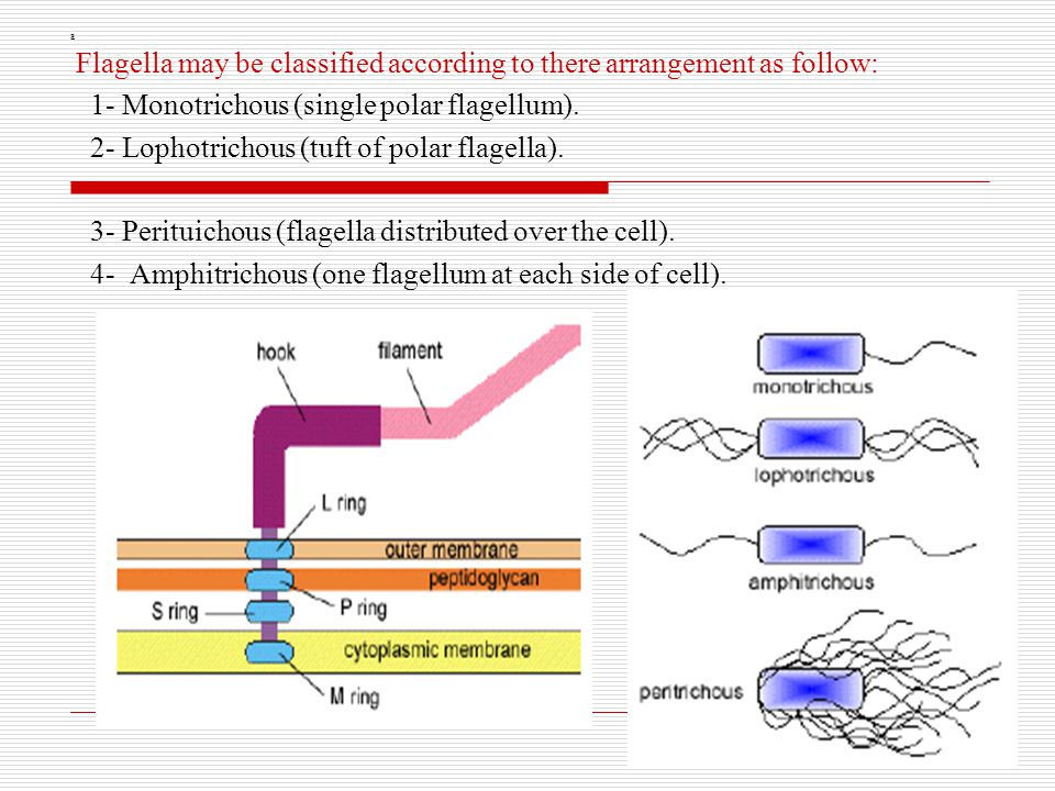 Flagella may be classified according to there arrangement as follow: