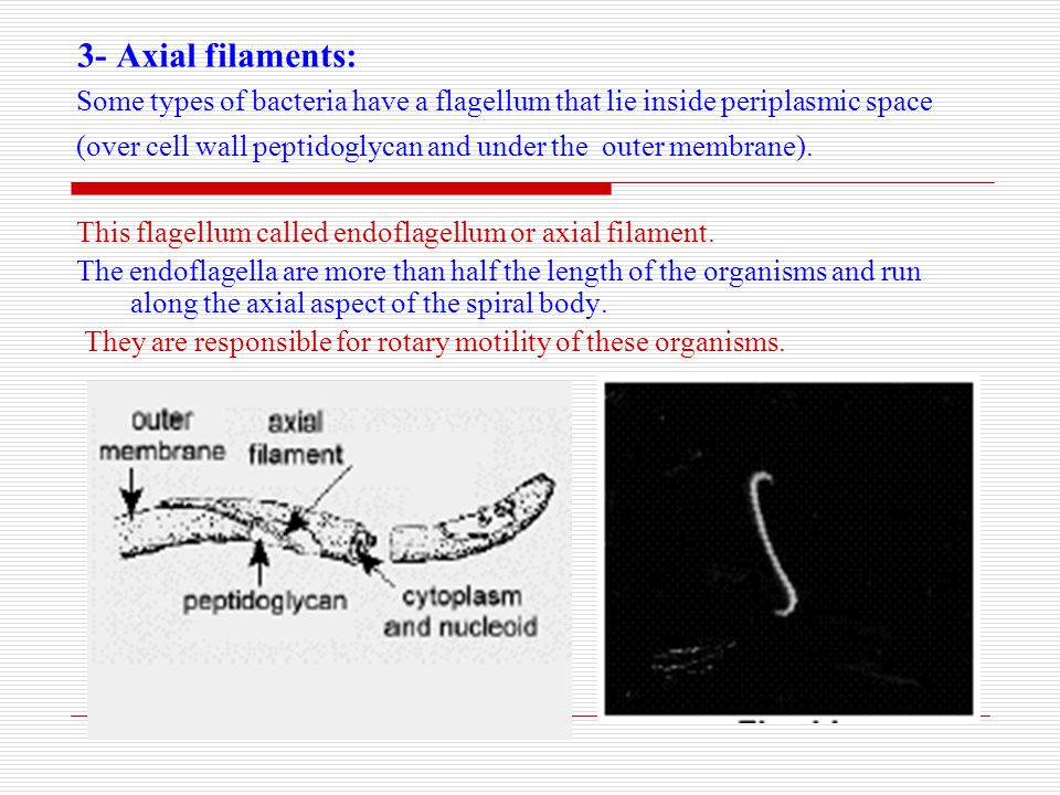 3- Axial filaments: Some types of bacteria have a flagellum that lie inside periplasmic space.