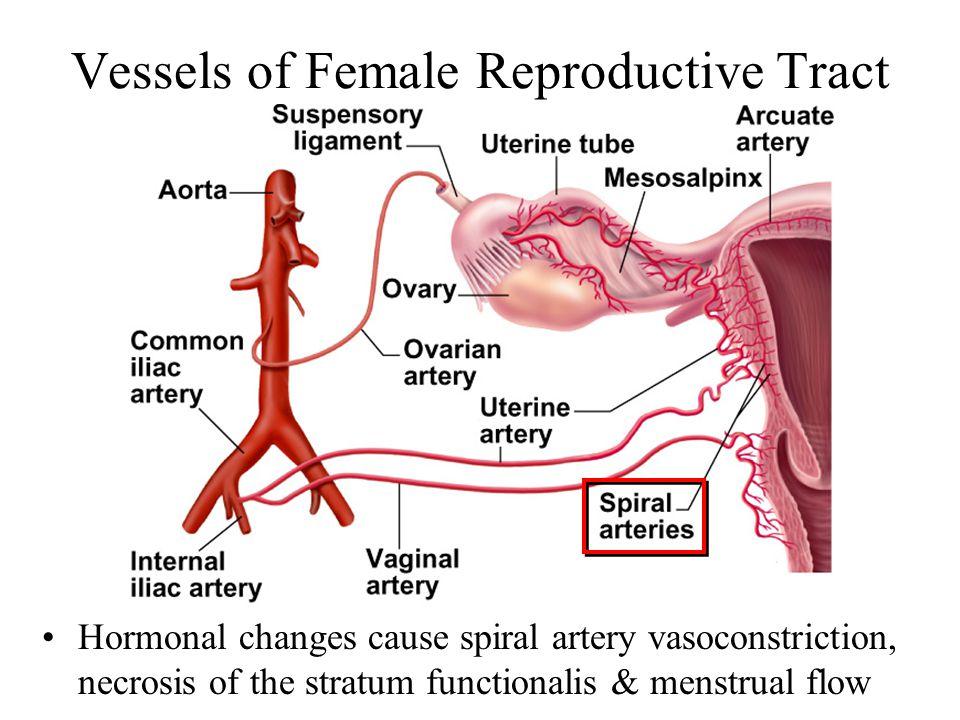 Female Reproductive Tract Choice Image - human anatomy organs diagram