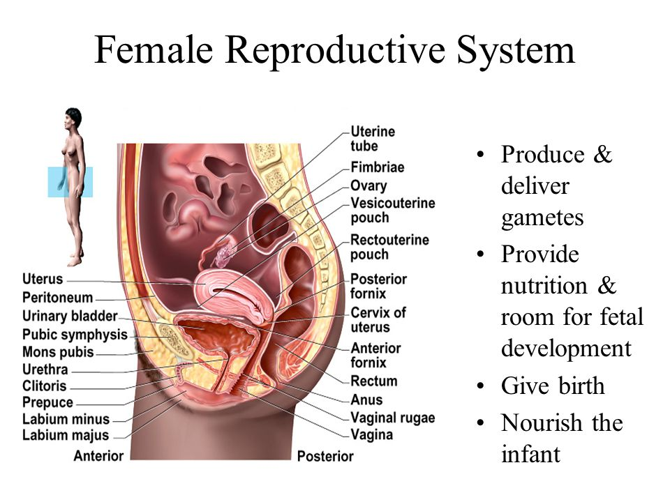 Female Reproduction Clitoris Porno Photo
