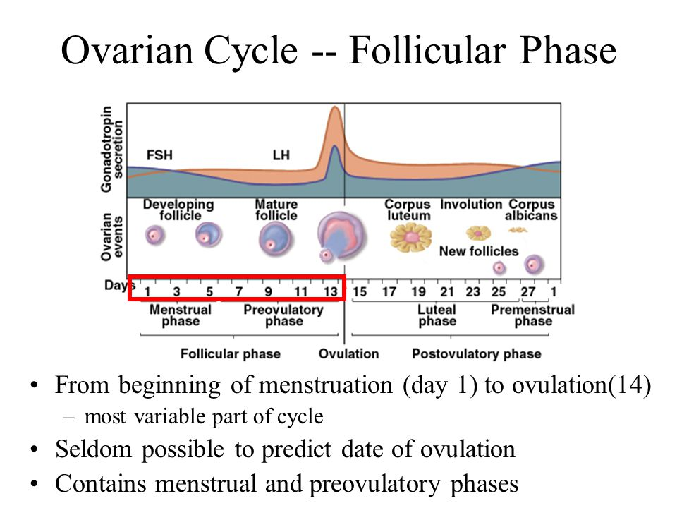 the ovarian cycle Changes in the ovary during the cycle (ovarian cycle) – what the woman observes: the four phases of the ovarian cycle are the (i) menstrual phase, (ii) follicular phase, (iii) ovulation, (iv) luteal phase.