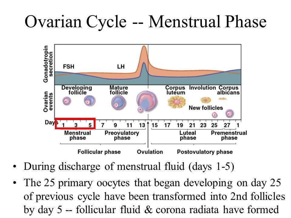 fsh stimulates the adrenal cortex to release corticosteroid hormones