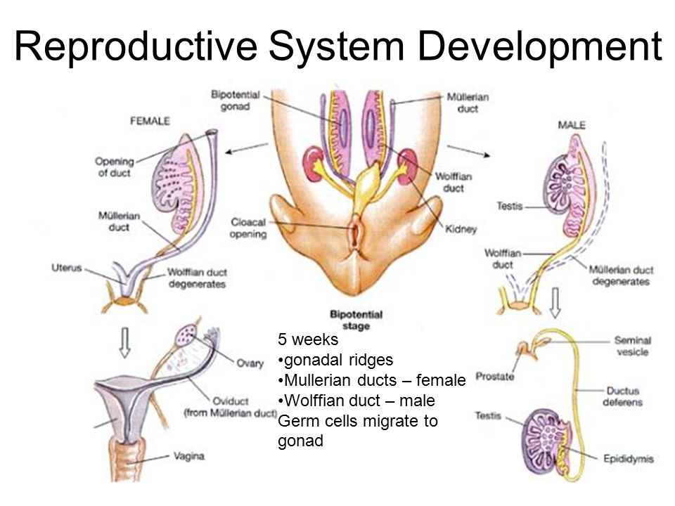 testosterone is produced in the