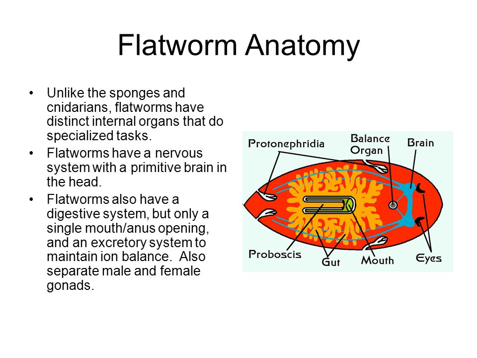 Flatworms And Cnidarians Animals Animals are mu...