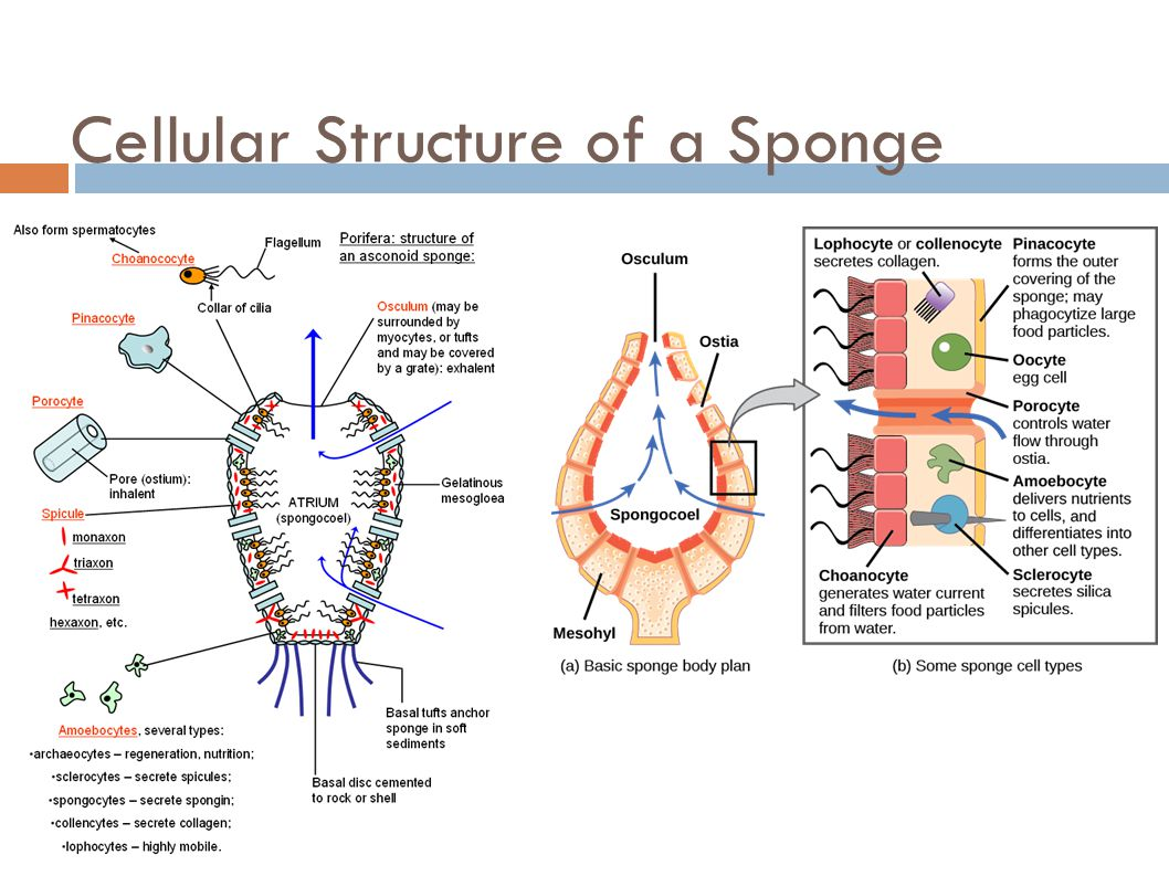 Sponges phylum porifera ppt video online download 17 cellular structure pooptronica Image collections