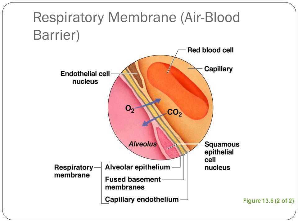 Air Barrier Membrane : The respiratory system ppt download