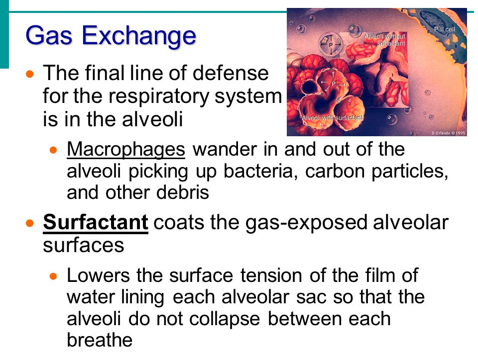 gaseous exchange surfaces Larger organisms therefore possess special surfaces for gaseous exchange, gills for aquatic environments, lungs for terrestrial environments gas exchange surfaces.
