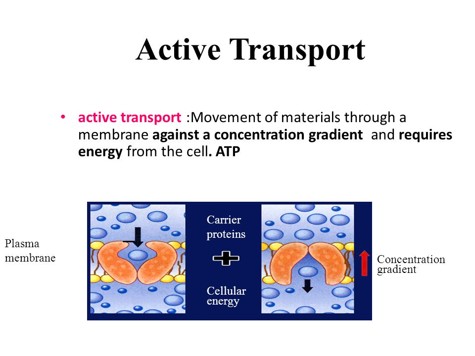 Active Transport active transport :Movement of materials through a membrane against a concentration gradient and requires energy from the cell. ATP.
