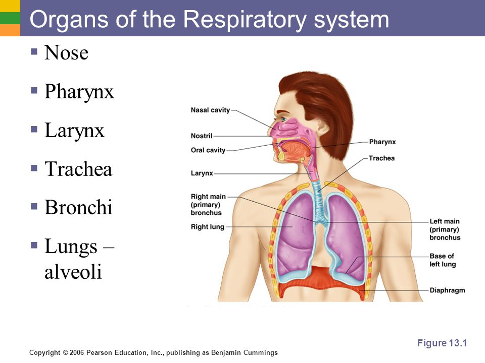 Organs Of The Respiratory System Ppt Video Online Download