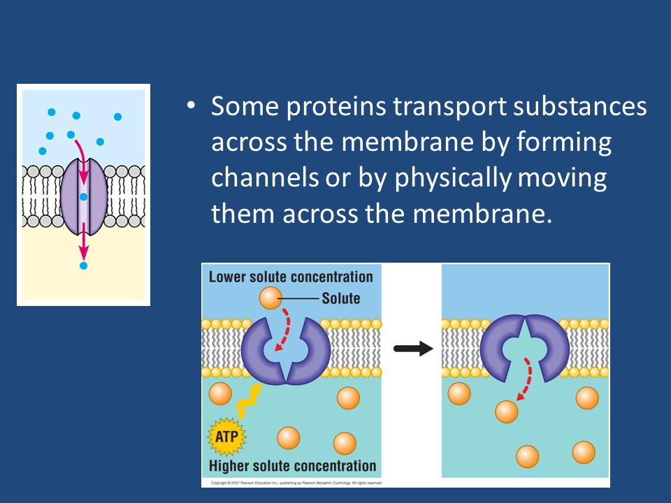 Some proteins transport substances across the membrane by forming channels or by physically moving them across the membrane.