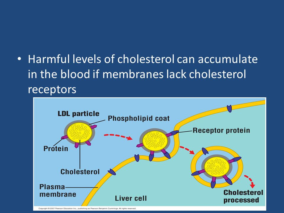 Harmful levels of cholesterol can accumulate in the blood if membranes lack cholesterol receptors