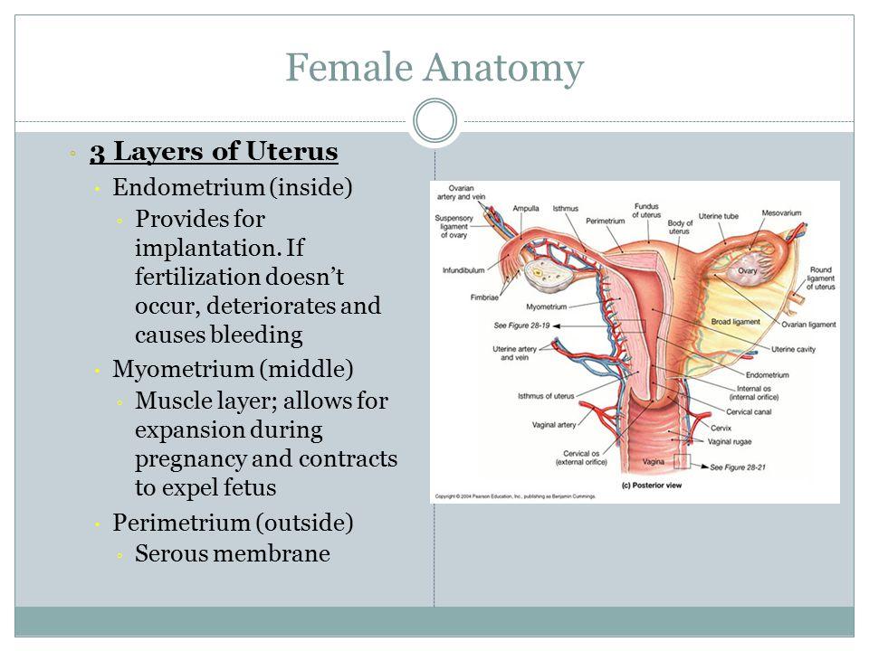Anatomy of pregnant uterus