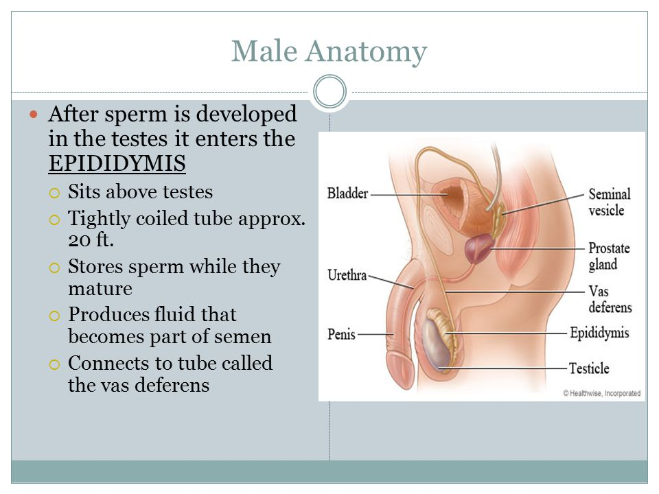 how to build up sperm in the body