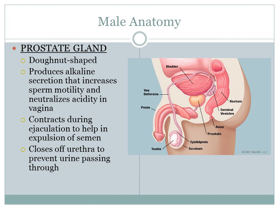 Fine Male Anatomy Prostate Gland Motif - Anatomy And Physiology ...