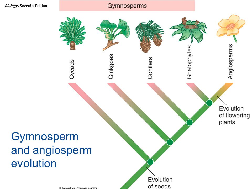 Diagram Of A Gymnosperm Plant Images - How To Guide And ...