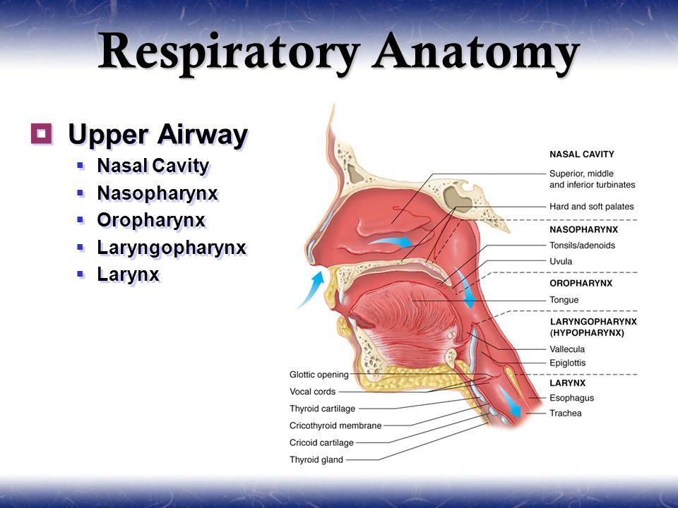 Anatomy of the upper airway