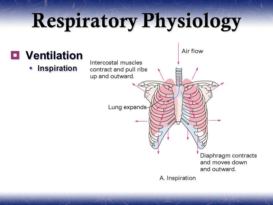 Lung bronchial anatomy