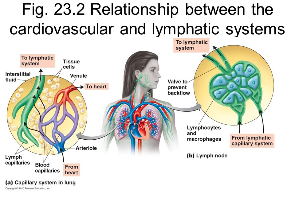 relationship between the cardiovascular and respiratory system